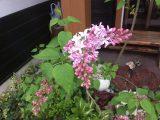 ライラックの花とゴールデンウィーク